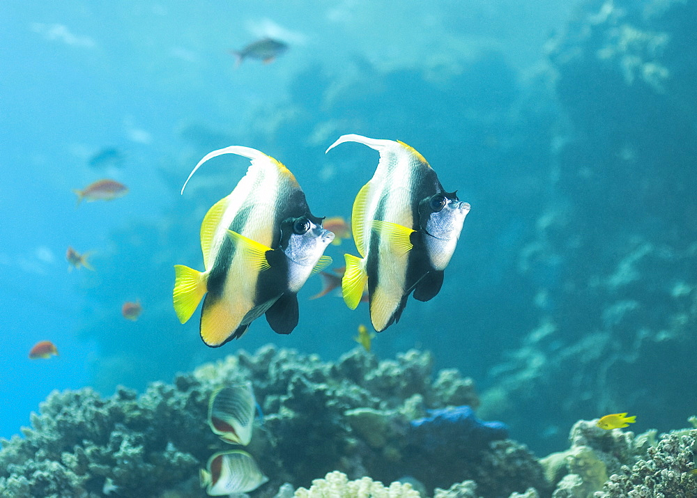 Red Sea Bannerfish (Heniochus Intermedius) Under water , diving, Hurghada, Red Sea, Egypt, Africa.