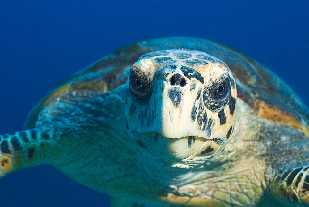 Hawksbill Turtle (Eretmochelys imbricata) Under water , diving, Hurghada, Red Sea, Egypt, Africa.