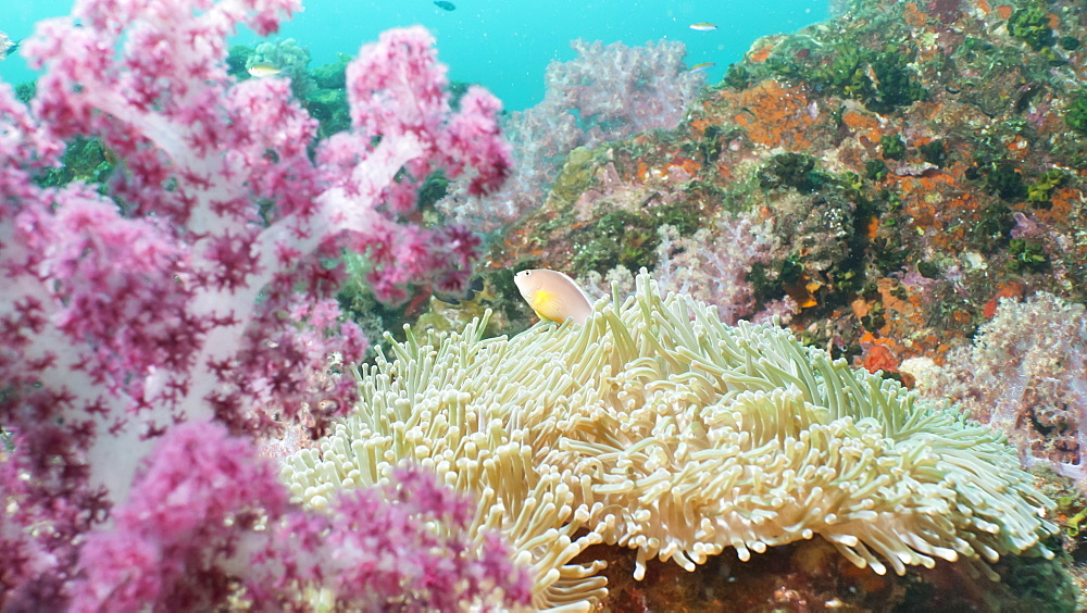Pink Dendronephthya, soft coral, and anemonefish, Southern Thailand, Andaman Sea, Indian Ocean, Asia