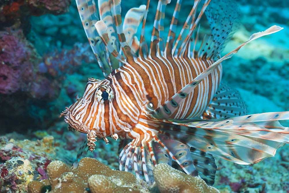 Scorpionfish (common lionfish) (Pterois miles), Southern Thailand, Andaman Sea, Indian Ocean, Asia - 921-1287