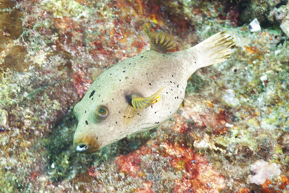 Puffer Fish (Tetraodontidae), Southern Thailand, Andaman Sea, Indian Ocean, Asia - 921-1289