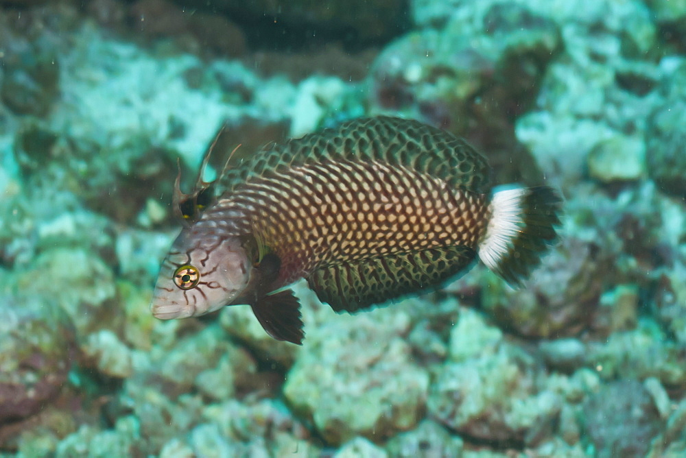 Rockmover Wrasse (Novaculichthys taeniourus), Southern Thailand, Andaman Sea, Indian Ocean, Asia - 921-1290