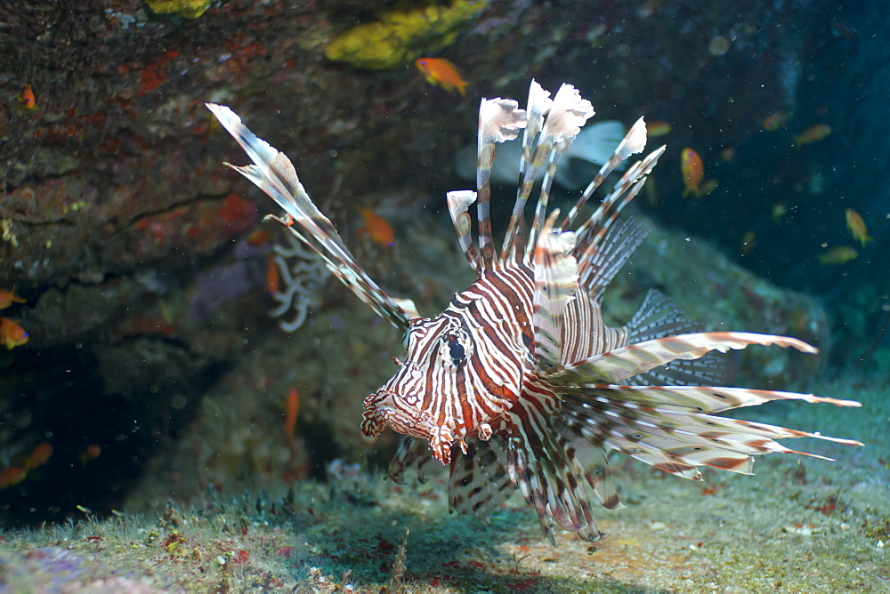 Scorpionfish (common lionfish) (Pterois miles), Southern Thailand, Andaman Sea, Indian Ocean, Asia - 921-1298