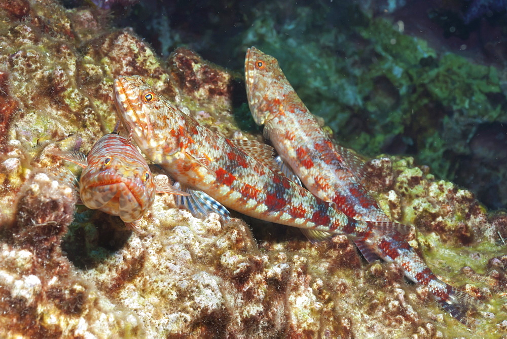 Variegated lizardfish (Synodus variegatus), Southern Thailand, Andaman Sea, Indian Ocean, Southeast Asia, Asia - 921-1307