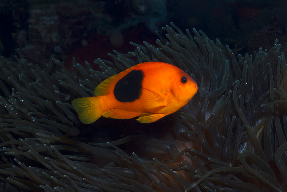 Tomato Anemonefish (Amphiprion ephippium), Southern Thailand, Andaman Sea, Indian Ocean, Southeast Asia, Asia - 921-1310