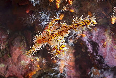 Harlequin ghost pipefish (Solenostomus paradoxus), Southern Thailand, Andaman Sea, Indian Ocean, Southeast Asia, Asia - 921-1319
