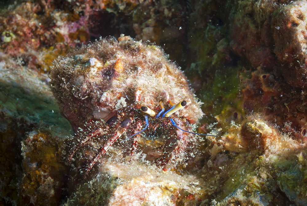 Hairy hermit crab (Aniculus elegans), SouthernThailand, Andaman Sea, Indian Ocean, Southeast Asia, Asia - 921-1343