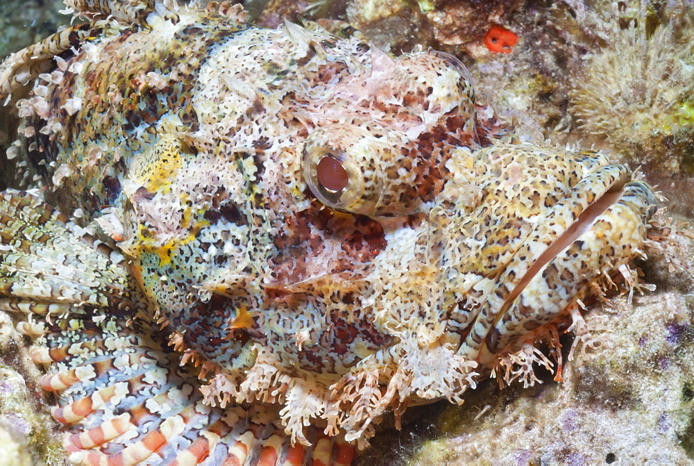 Scorpionfish (Scorpaenopsis), Southern Thailand, Andaman Sea, Indian Ocean, Southeast Asia, Asia - 921-1348