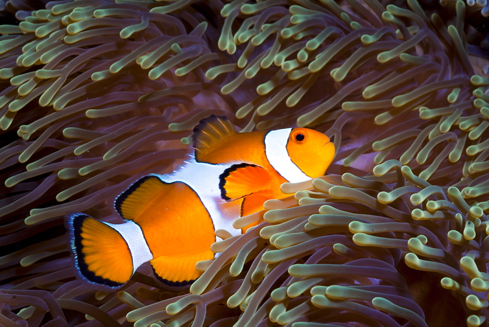 Western clown anemonefish (Amphiprion ocellaris) and sea anemone (Heteractis magnifica), Southern Thailand, Andaman Sea, Indian Ocean, Southeast Asia, Asia - 921-1349