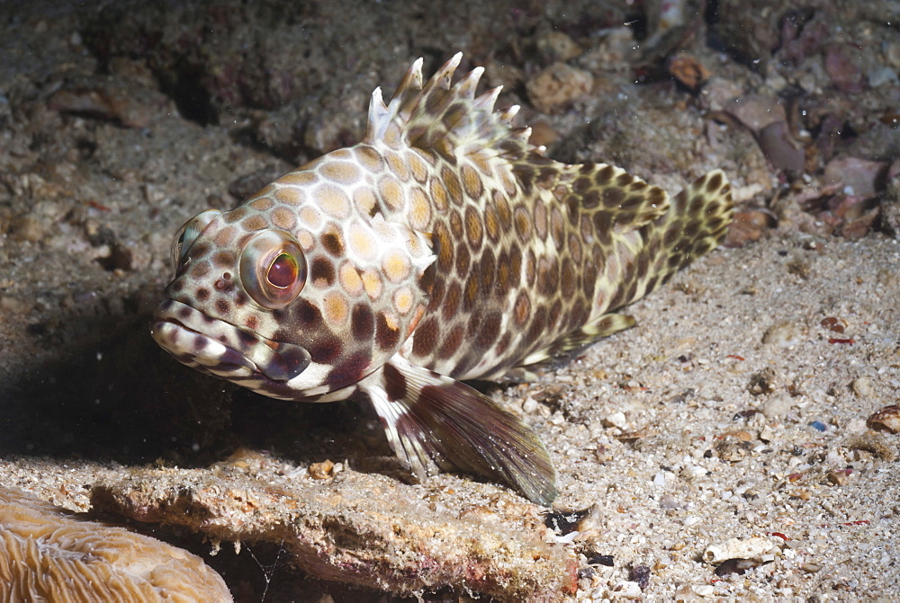 Longfin grouper (Epinephelus quoyanus), Southern Thailand, Andaman Sea, Indian Ocean, Southeast Asia, Asia - 921-1355