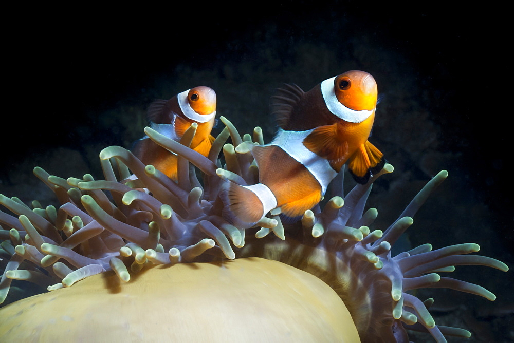 Western clown anemonefish (Amphiprion Ocellaris) and sea anemone (Heteractis magnifica), Southern Thailand, Andaman Sea, Indian Ocean, Southeast Asia, Asia - 921-1357
