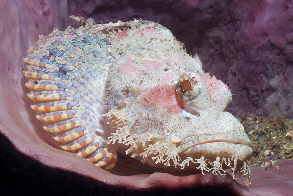 Scorpionfish (Scorpaenopsis), Southern Thailand, Andaman Sea, Indian Ocean, Southeast Asia, Asia - 921-1358