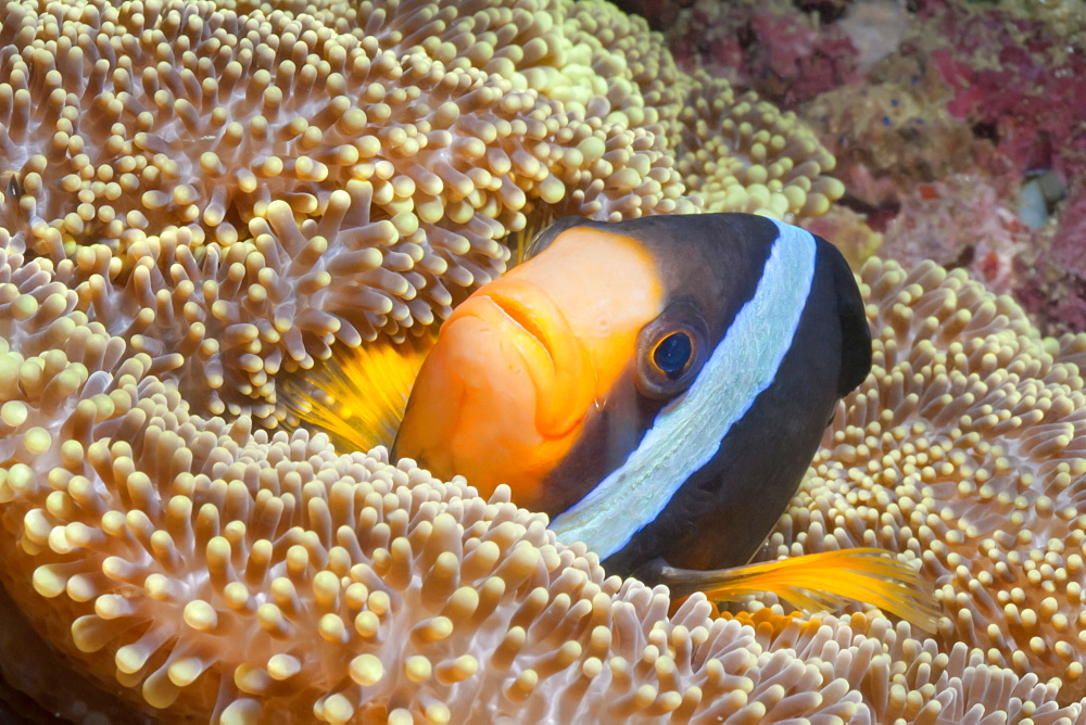 Clark's anemonefish (Amphiprion clarkii), Southern Thailand, Andaman Sea, Indian Ocean, Southeast Asia, Asia - 921-1359