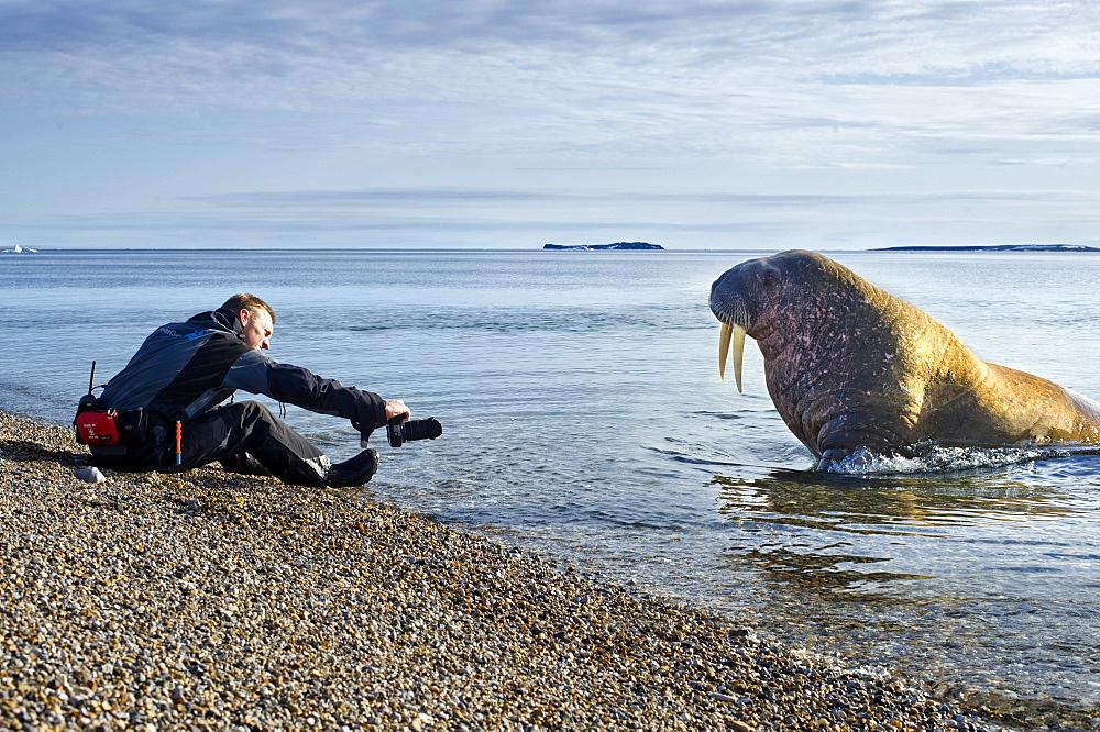 Walrus (Odobenus rosmarus), Rookery, Haul Out, Colony, man, photography. Longyearbyen, Svalbard, Norway - 921-178