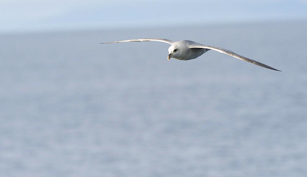 Sladie Back Gull. Longyearbyen,  City Center, Svalbard, Norway