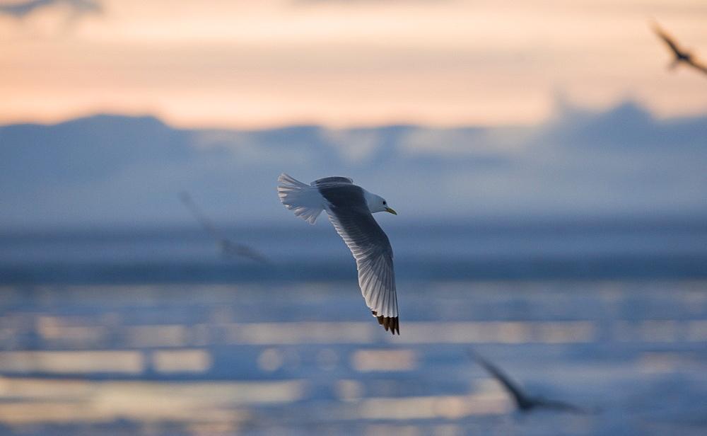 Slade back Gull. Longyearbyen, Svalbard, Norway