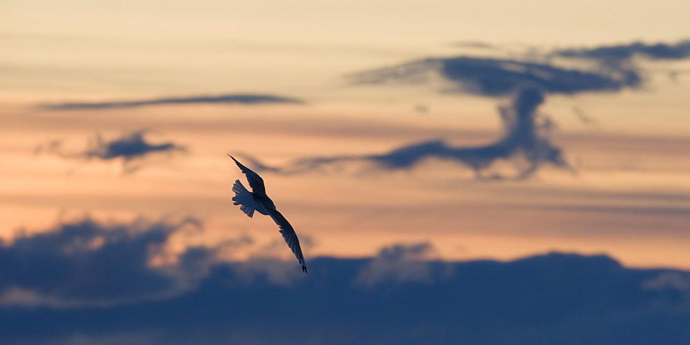 Slade back Gull (Fulmarus glacialis). Longyearbyen, Svalbard, Norway