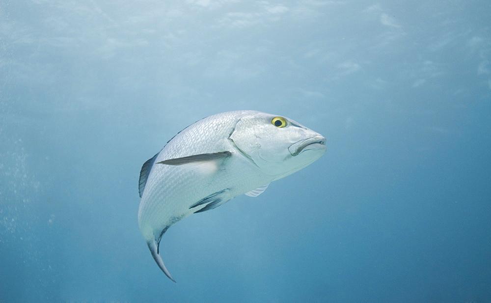 sea perch (Percomorphi). Cains, Queensland, Australia