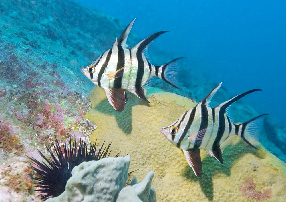 fish sp (currently unidentified). South West Rocks, NSW, Australia