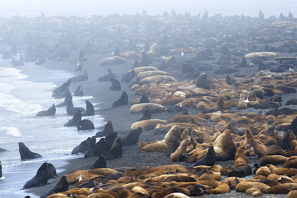Stellers Sea Lion (Eumetopias jubatus) Rookery. Tyuleniy Island, Kuril Islands, Russia
