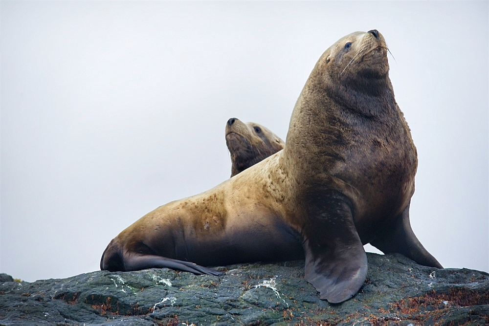 Steller Sea Lions (Eumetopias jubatus). Kuril Islands, Russia