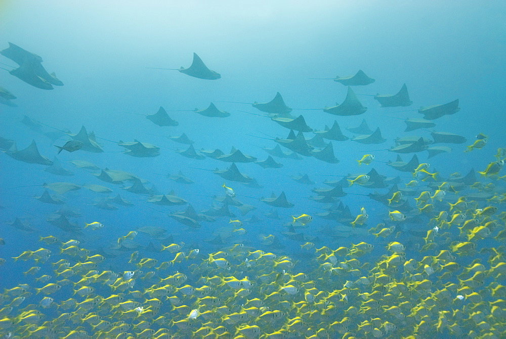 schooling eagle rays, sting rays. South West Rocks, NSW, Australia       (rr)