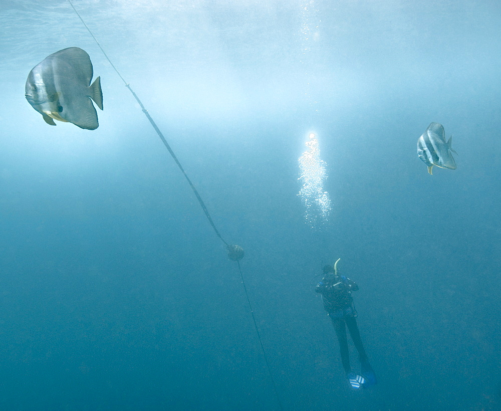 Bat Fish (Platax obicularis), safety stop, anchor line, scuba diving. South West Rocks, NSW, Australia