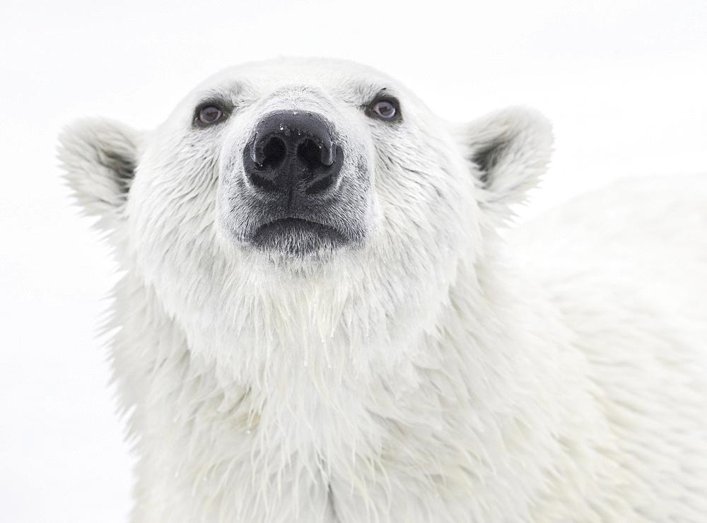 Polar Bear. Longyearbyen,  Nordaustlandet, South Severn Is, Svalbard, Norway