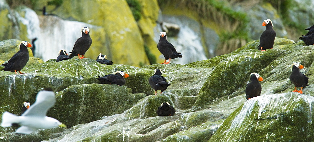 Wild Adult Tufted Puffins (Fratercula cirrhata), Colony, In breeding plumage, Bering Islands (Bering sea), Russia, Asia.