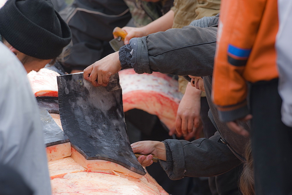 Inuit Settlement with locals cutting large slabs of whale meat from a freshly caught Grey whale, Lorino Village (Chukotskiy Peninsular) Russia, Asia.