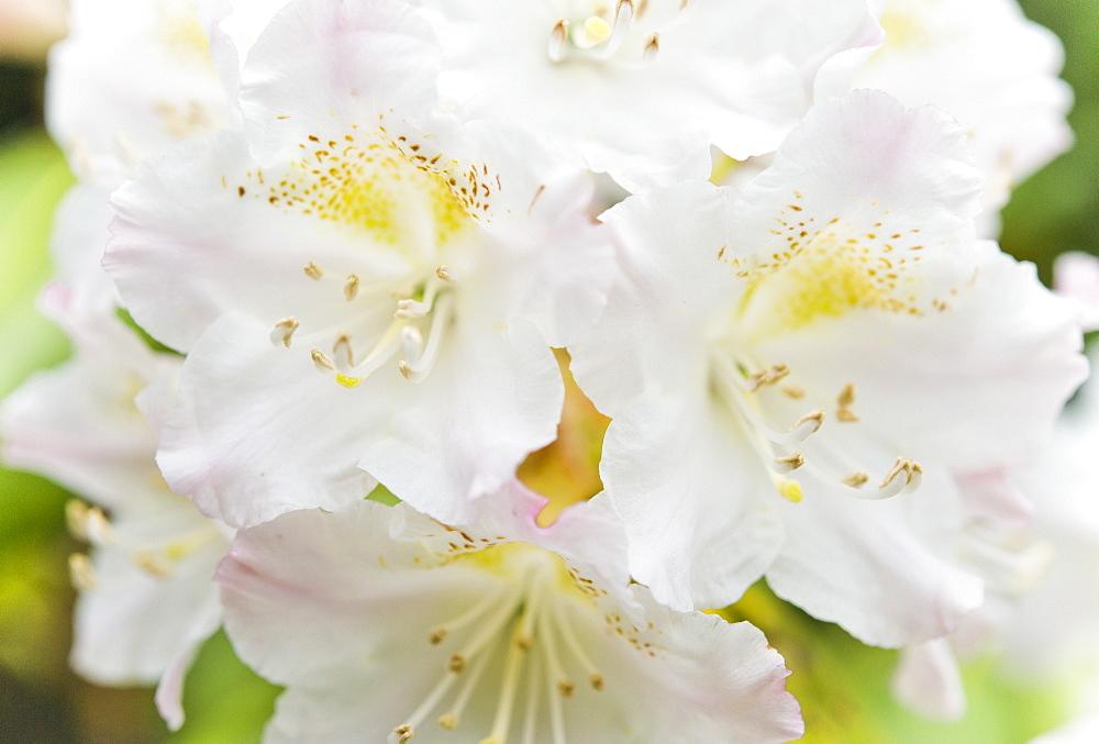 Rhododendron at the Botanical Gardens of, Sapporo (Hokkaido), Japan, Asia