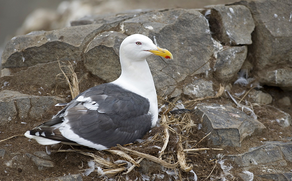 Wild Slaty-backed Gull (Larus schistisagus) , nesting, Tyuleniy Island, Russia, Asia   MORE INFO:  Gulls circle the Kittywakes colony in hope that if they fly, the gulls can swoop in and grab their exposed eggs