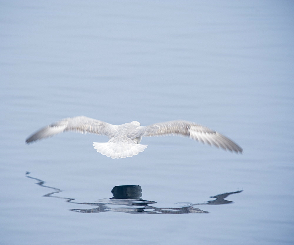 Gull low over the water. Longyearbyen, Far Northern Ice Sheets, Svalbard, Norway
