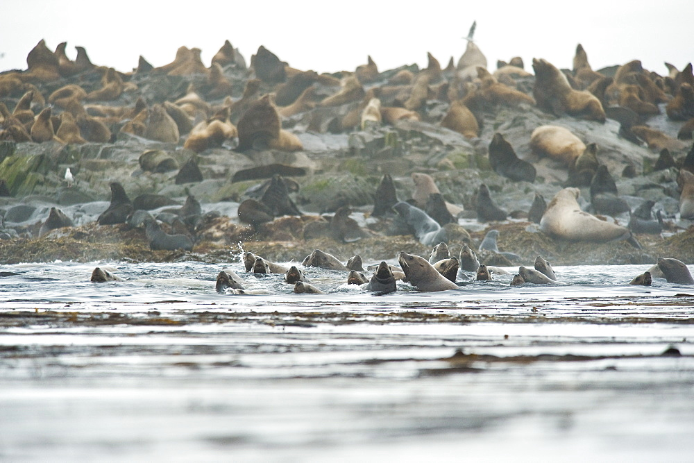 Wild Adult Male and Female, Steller sea lions (Eumetopias jubatus) and Wild Male Northern fur seals, endangered, colony, rookery, haul out, raft, above and in water. Bering Islands (Bering Sea) Russia, Asia.  MORE INFO: This sea lion in the largest member of the eared seals.