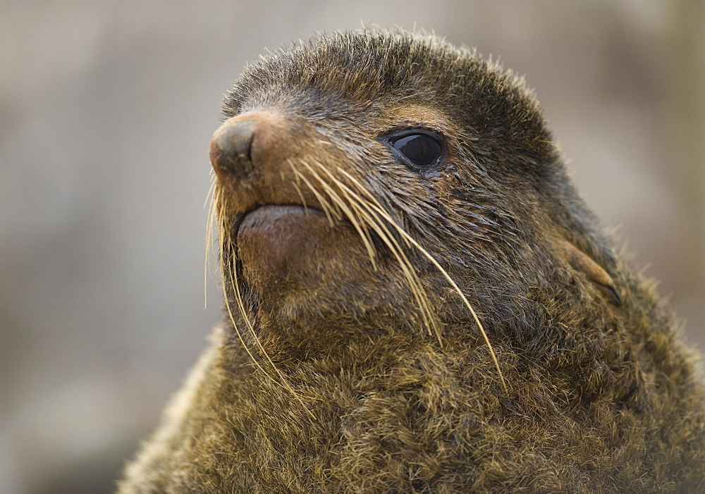 Wild female Northern Fur seal (Callorhinus ursinus), Endangered,  rookery, haul out, Colony,  Tyuleniy Island (Bering Sea), Russia, Asia