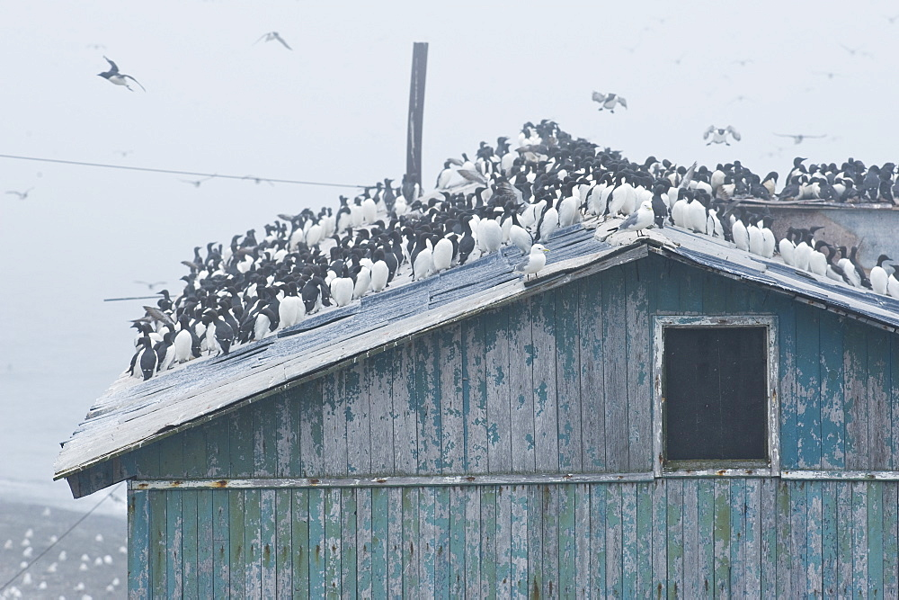 Wild Common Murres (Uria aalge) male and feamle,  colony, hundreds of thousands, Tyuleniy Island (Bering Sea), Russia, Asia