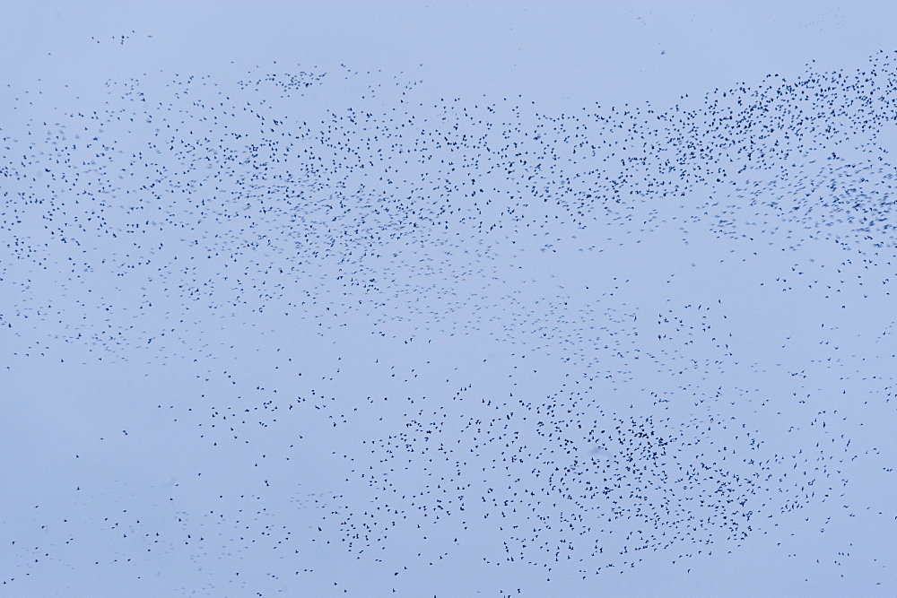 Swarm, Hundreds of thousands of Whiskerd Auklets (Aethia pygmaea), returning from feeding in eavening. Yankicha Island, (Bering Sea), Russia, Asia