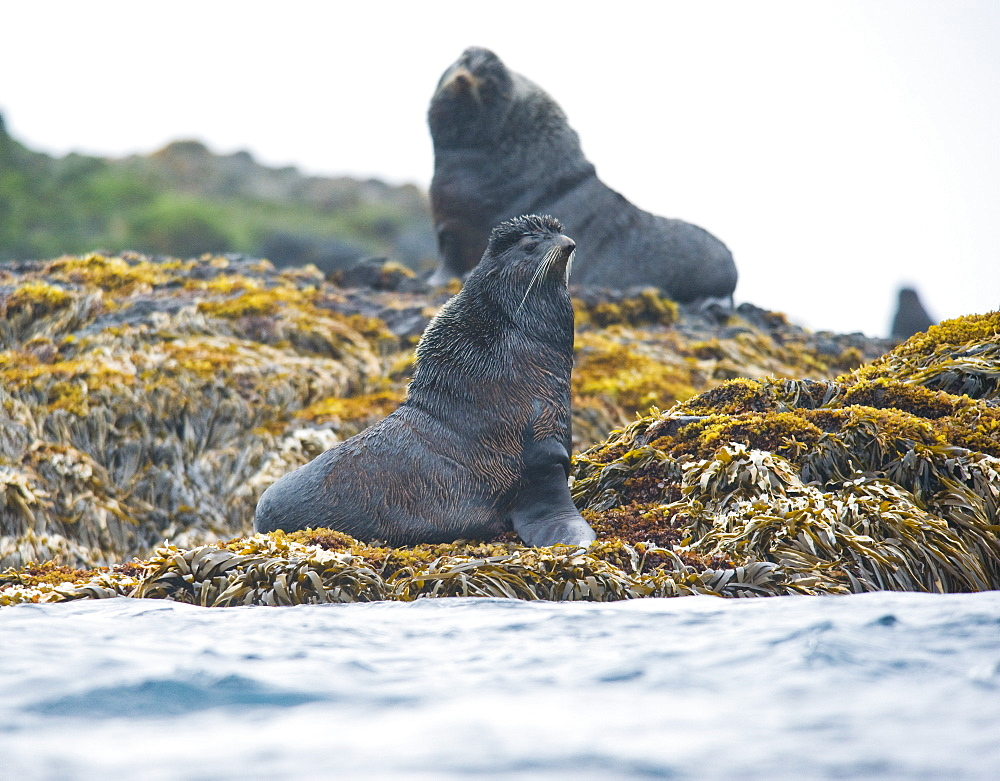Wild Male Northern fur seals, endangered, colony, rookery, haul out, raft, above and in water. Bering Islands (Bering Sea) Russia, Asia.  MORE INFO: This sea lion in the largest member of the eared seals.