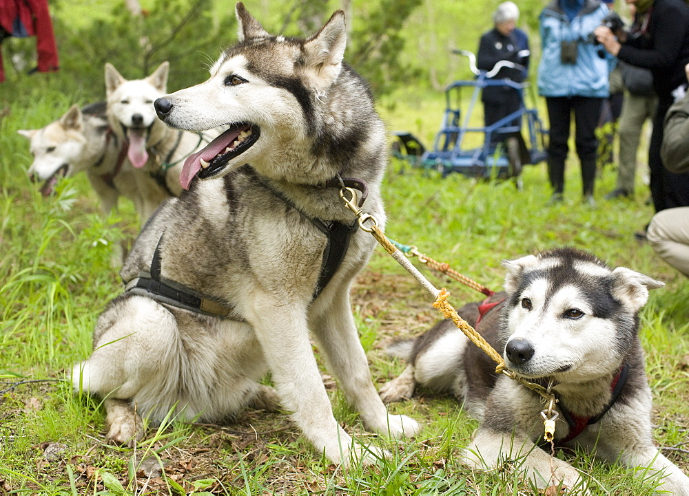 Captive Male Siberian Huskies at the Siberian K9 Kennel and Lodge, Petropavlovsk (Kamchatka) Russia, Asia.  MORE INFO: Dogs used for sled pulling and races.