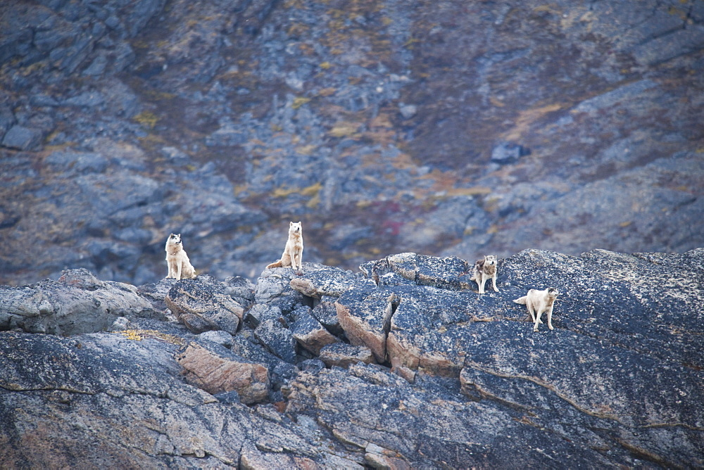 Huskies on dog island, Kimmirut, Baffin Island (Qikiqtaaluk) Nunavut, Canada, North America