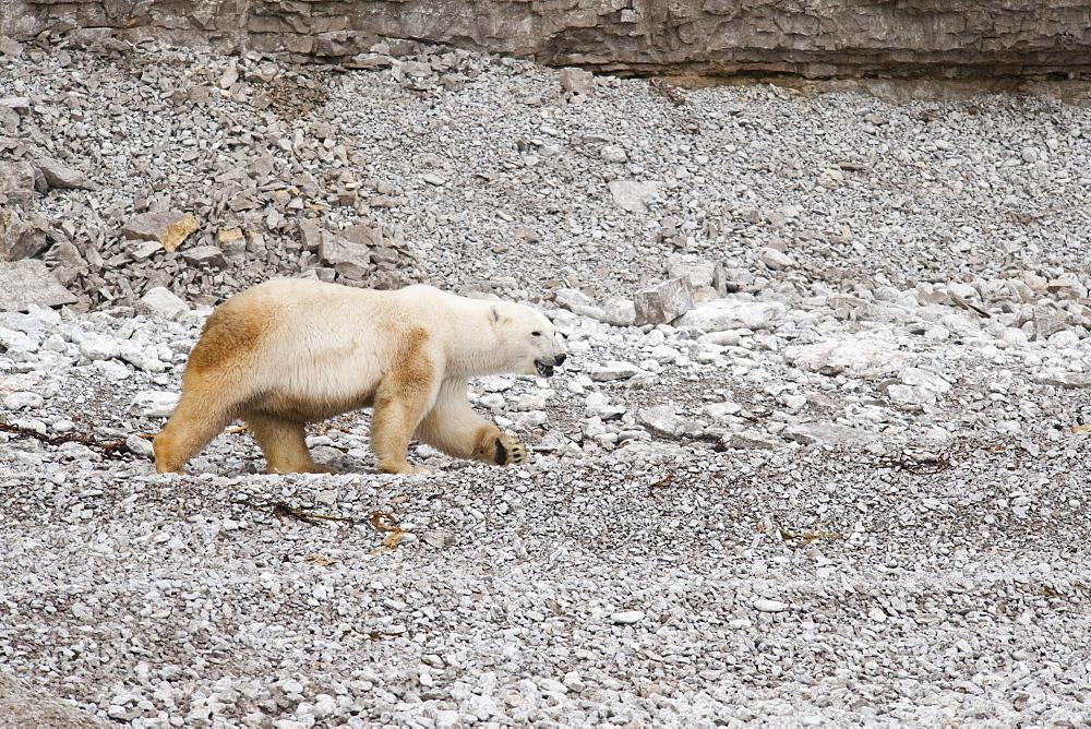 Polar Bear (Ursus Maritimus) on rocky beach. Akpatok Island, Quebec, Nunavik, Canada, North America