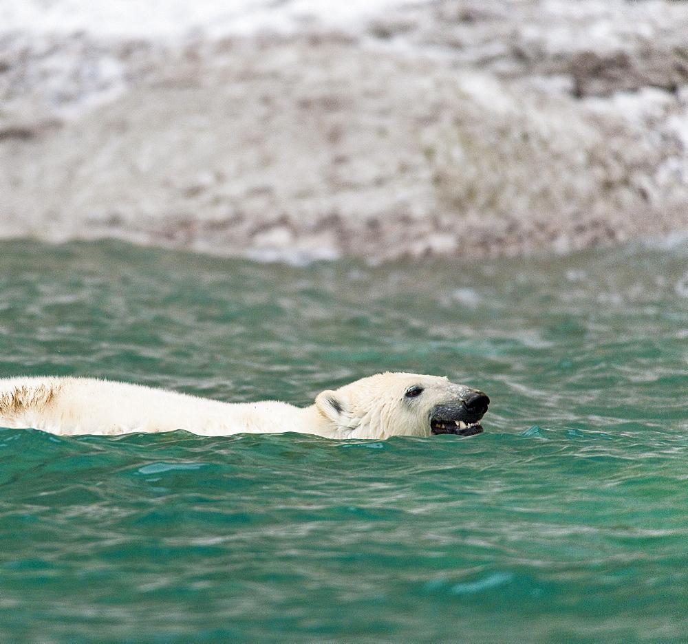 Polar Bear (Ursus Maritimus) bathing in ocean. Akpatok Island, Quebec, Nunavik, Canada, North America