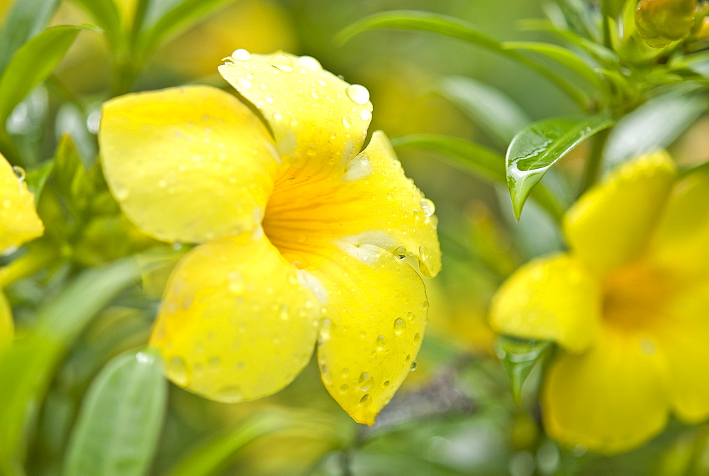 Wild flowers. Kuching, Sarawak, Borneo, Malaysia, South-East Asia, Asia