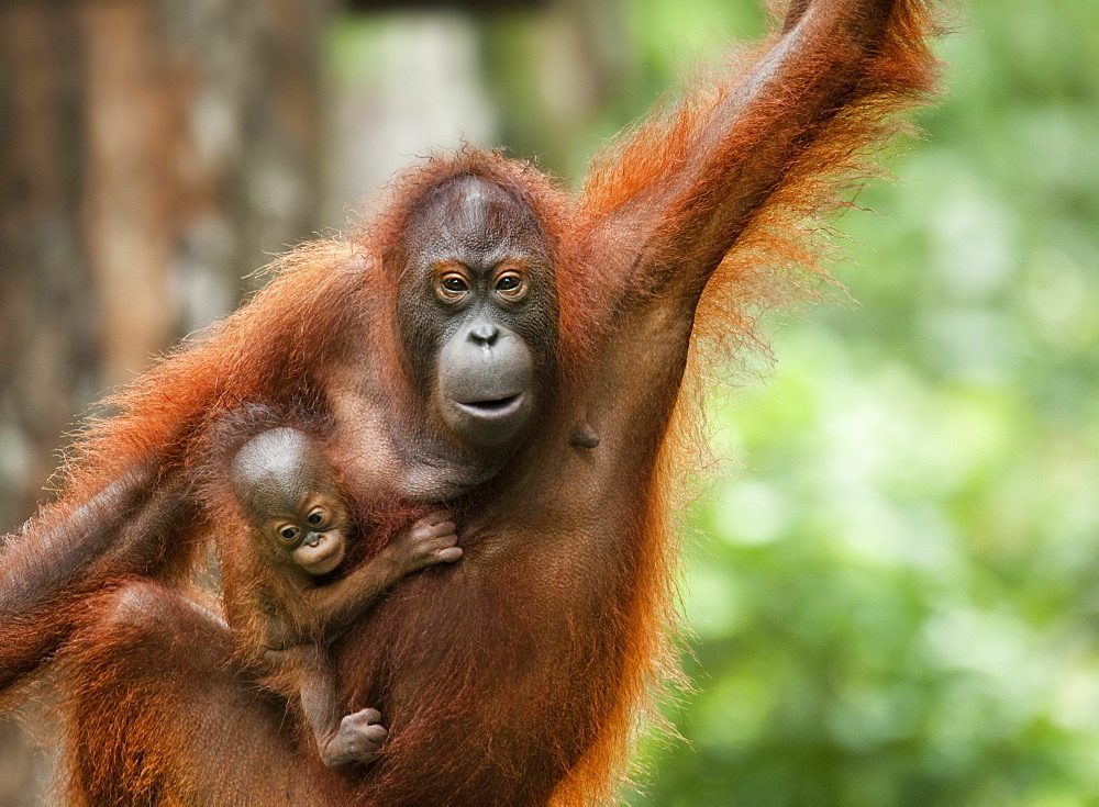 orangutan rehabilitation in sumatra essay Essay on globalization's effect on the orangutan throughout south east asia but is now confined to the islands of borneo and sumatra orangutans essay.