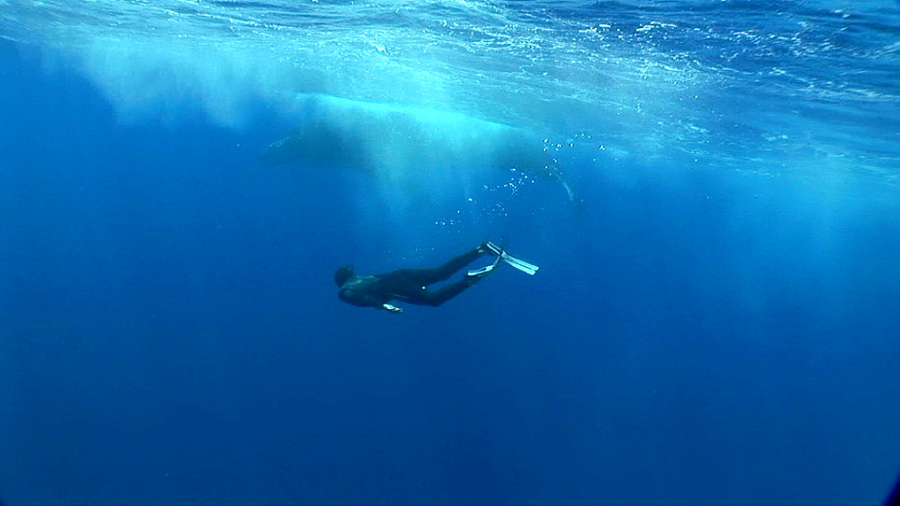 Snorkeler and humpback whale (Megaptera novaeangliae). Man and animal interactions. Tonga, South Pacific - 926-1