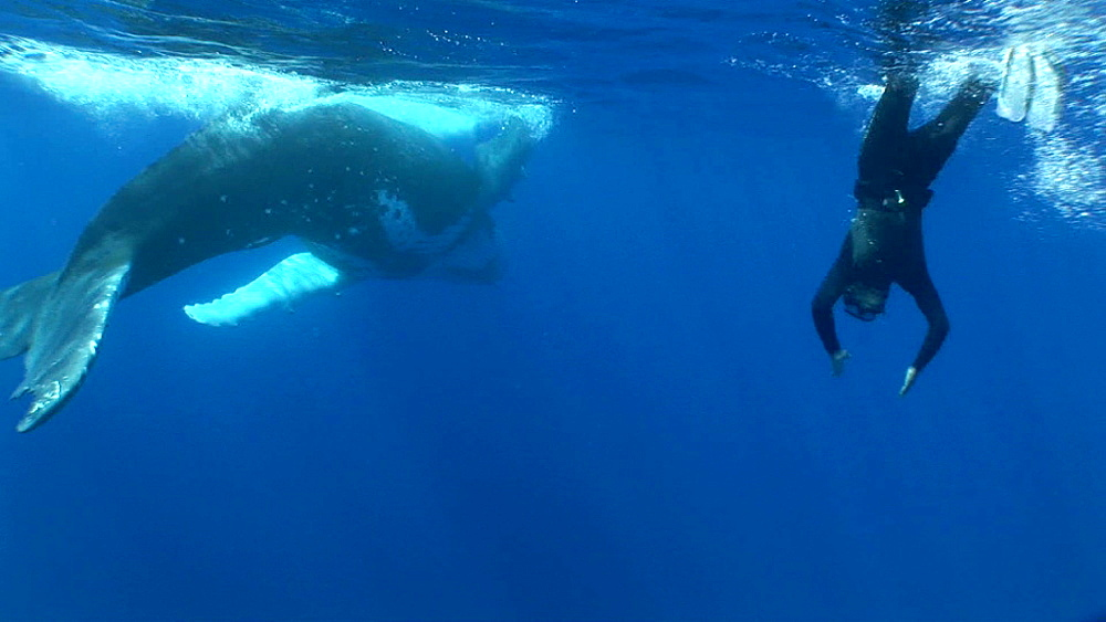 Snorkeler and humpback whale (Megaptera novaeangliae). Man and animal interactions. Tonga, South Pacific - 926-13