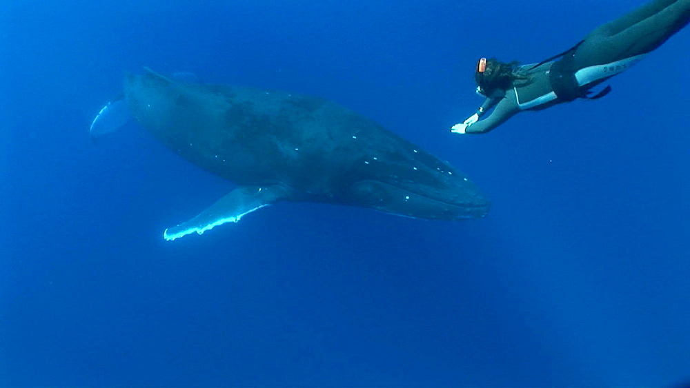 Humpback whale (Megaptera novaeangliae) with snorkeller. Man and animal interactions. Tonga, South Pacific - 926-14