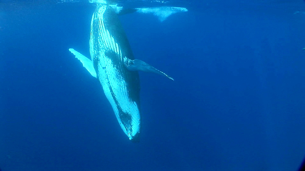 Humpback whale (Megaptera novaeangliae) with snorkeller. Man and animal interactions. Tonga, South Pacific - 926-16