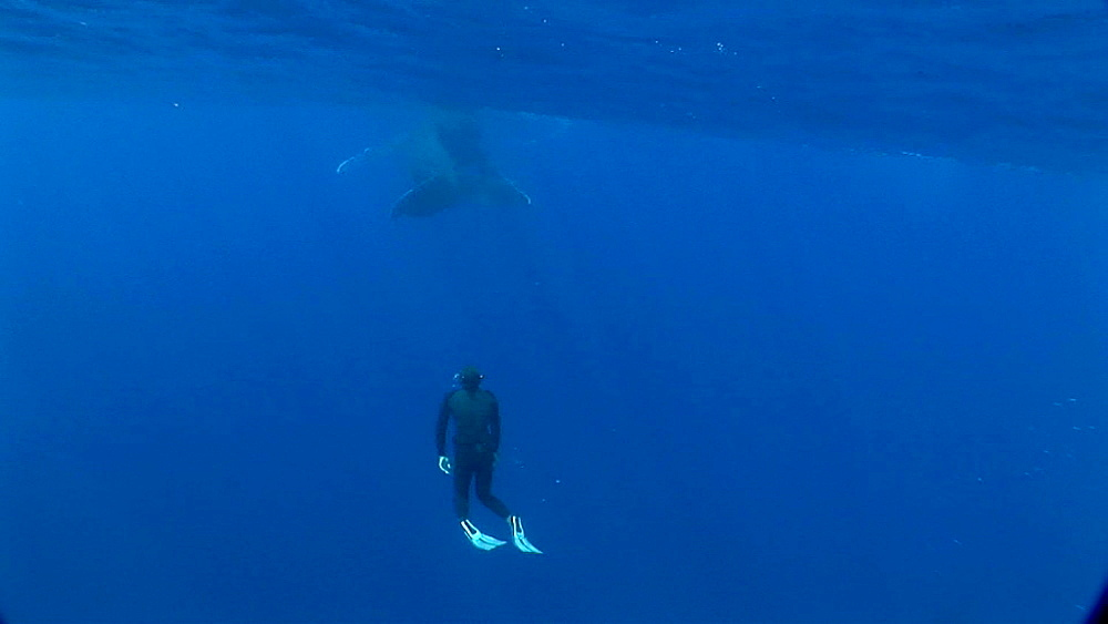 Snorkeler and humpback whale (Megaptera novaeangliae). Man and animal interactions. Tonga, South Pacific - 926-18