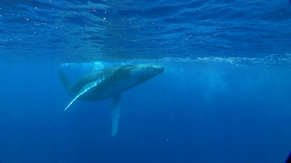 Humpback whale (Megaptera novaeangliae). Man and animal interactions. Tonga, South Pacific - 926-2